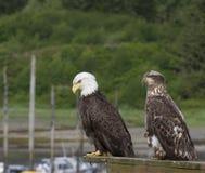 Águilas relajantes fotografía de archivo libre de regalías