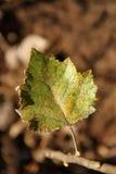 Álamo Autumn Leave Foto de archivo libre de regalías