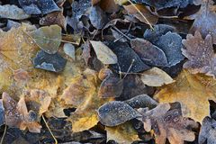 Álamo, carvalho e folhas de bordo caídos congelados Geadas do outono Fundo da natureza Fotos de Stock Royalty Free