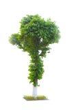 Álamo da árvore isolado no branco Fotografia de Stock