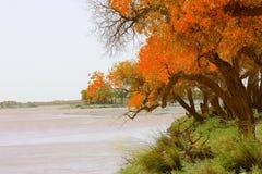 Álamo de Diversifolious cerca del agua Fotografía de archivo