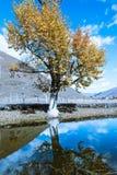 Álamo de oro del cielo azul Fotografía de archivo libre de regalías