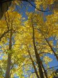 Álamo temblón de oro Foto de archivo