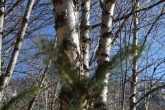 Álamo temblón del otoño y árboles de abedules desnudos con el cielo azul Imágenes de archivo libres de regalías
