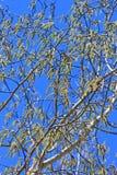 Álamo tremedor comum ou álamo trembling (tremula do Populus) Imagens de Stock Royalty Free