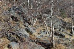 Álamo tremedor da montanha e floresta dos vidoeiros fotos de stock royalty free