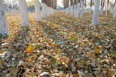 Álamos en otoño Imagen de archivo libre de regalías