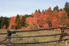 Álamos tembloses 2 del otoño Fotografía de archivo libre de regalías