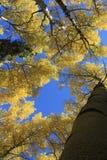 Álamos tembloses 3 del otoño Imagenes de archivo