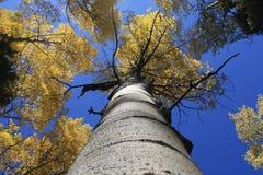 Álamos tembloses 4 del otoño Fotos de archivo libres de regalías