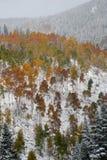 Álamos tembloses cambiantes en nieve Fotografía de archivo libre de regalías