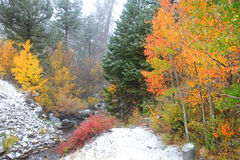 Álamos tembloses coloridos en nieve Fotografía de archivo