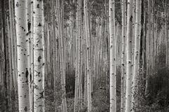 Álamos tembloses de Colorado Fotografía de archivo