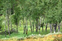 Álamos tembloses de Colorado Imágenes de archivo libres de regalías