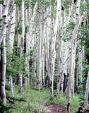 Álamos tembloses de Colorado foto de archivo libre de regalías