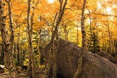 Álamos tembloses de Colorado en otoño Imágenes de archivo libres de regalías