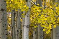 Álamos tembloses de oro en el otoño Foto de archivo libre de regalías