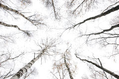 Álamos tembloses del invierno Imagenes de archivo