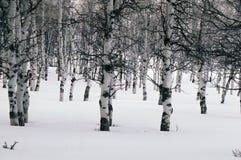 Álamos tembloses del invierno Fotos de archivo libres de regalías