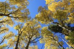 Álamos tembloses del otoño Fotos de archivo libres de regalías