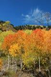 Álamos tembloses del otoño en el paso de McClure Imágenes de archivo libres de regalías