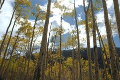 Álamos tembloses en Aspen Fotos de archivo