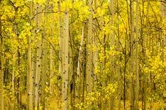 Álamos tembloses en el paso de Kenosha, Fairplay Colorado foto de archivo libre de regalías