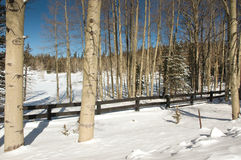 Álamos tembloses en la nieve Fotografía de archivo