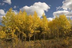 Álamos tembloses en otoño Foto de archivo