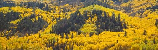 Álamos tembloses en otoño cerca de Rico, Colorado Imagenes de archivo