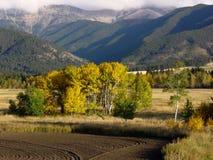 Álamos tembloses en un prado, Montana Imagen de archivo libre de regalías