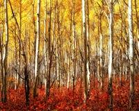 Álamos tembloses rojos del amarillo de la hierba Fotografía de archivo libre de regalías