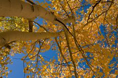 Álamos tembloses y cielo amarillos foto de archivo