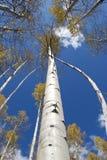 Álamos tremedores de Colorado Fotos de Stock