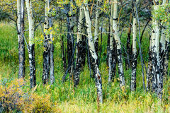 Álamos tremedores de Colorado no outono Imagens de Stock