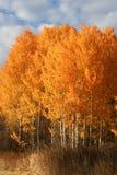 Álamos tremedores de Spokane, Washington fotos de stock royalty free