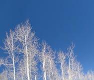 Álamos tremedores desencapados do inverno de encontro ao céu azul profundo foto de stock royalty free
