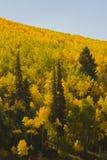 Álamos tremedores do outono Fotografia de Stock Royalty Free