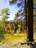 Álamos tremedores e sequoias vermelhas fotografia de stock royalty free