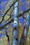 Álamos tremedores e um céu azul Imagens de Stock