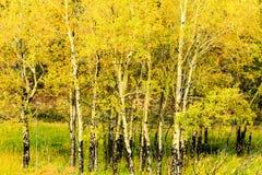 Álamos tremedores no outono Foto de Stock