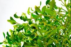 Álbum del Viscum, rama del muérdago, Santalaceae de la familia, bayas blancas en blanco fotos de archivo