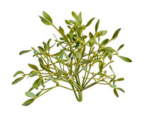 Álbum do Viscum, ramo do visco, Santalaceae da família, baga branca Imagem de Stock Royalty Free