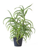 Áloe Arborescens Imágenes de archivo libres de regalías
