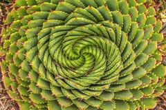 Áloe espiral - planta tradicional de Lesotho foto de archivo