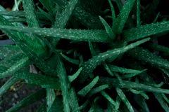 Áloe Vera, cierre encima del fondo de la hoja, concepto de la naturaleza Foto de archivo