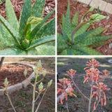 Áloe Vera Flower Collage Fotografía de archivo libre de regalías