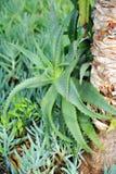 Áloe Vera - planta curativa Fotografía de archivo libre de regalías