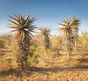 Áloe Vera Trees Botswana Fotografía de archivo
