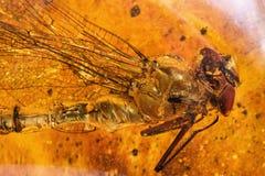 Ámbar y libélula antiguos Fotografía de archivo libre de regalías